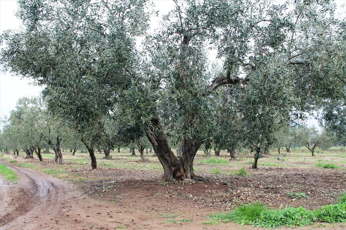 Земля Халкидики-Ситония, Греция, 4980 сот. - фото 1