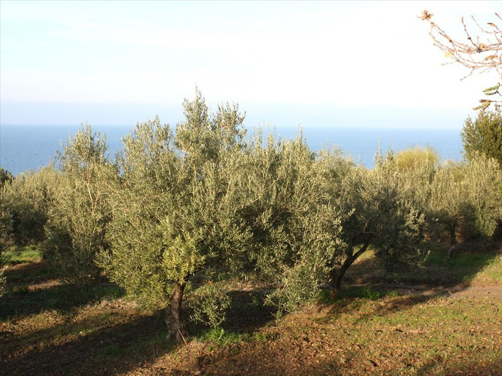 Земля Халкидики-Кассандра, Греция, 20000 сот. - фото 1