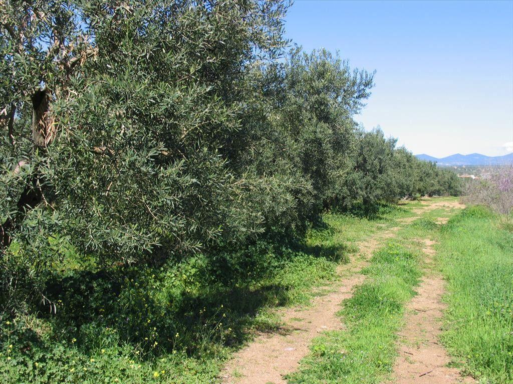 Земля Халкидики-Ситония, Греция, 1100 м2 - фото 1